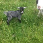 baby-goats-3