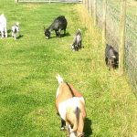 more-goats